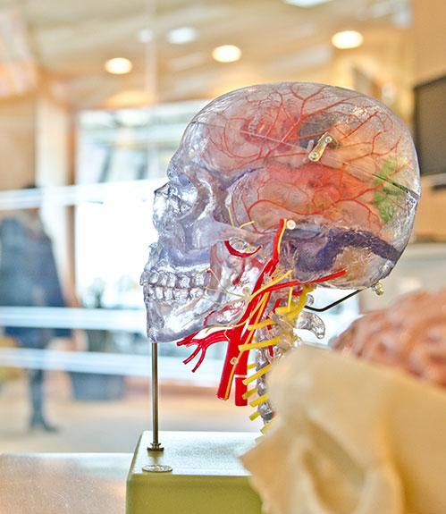 Cerveau coloré sur socle